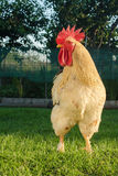 Grand domestic rooster Royalty Free Stock Photo