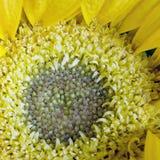 Grand dos jaune de disque de momie Photographie stock libre de droits