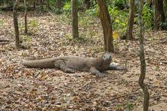 Grand dragon de Komodo images libres de droits