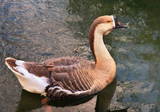 Grand Duck Bird détendant dans l'étang sauvage Photos stock