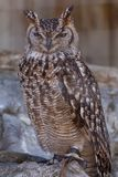 Grand Duke Owl Stock Image