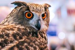 Grand duke owl with orange eyes. Against blurred background Stock Photo