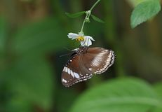 Grand eggfly images libres de droits