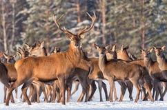 Grand elaphus de cervus de cerfs communs entouré par le troupeau Portrait de mâle de cerfs communs, tout en vous regardant dans l Photos stock