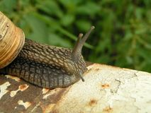 Grand escargot Photo stock