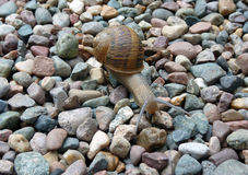 Grand escargot Images stock