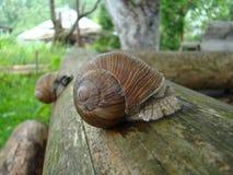 Grand escargot Photos stock