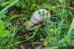 Grand escargot avec l'herbe verte, le plan rapproché, la cochlée et l'animal, naturels photo libre de droits