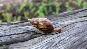 Grand escargot dans la coquille rampant sur le bois de construction banque de vidéos