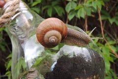 Grand escargot dans le jardin sur un plan rapproché de bol en verre Image libre de droits
