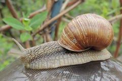 Grand escargot dans le jardin sur un plan rapproché de bol en verre Photographie stock
