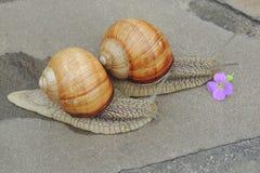 Grand escargot dans le jardin sur un plan rapproché gris de fond Photographie stock libre de droits