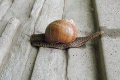 Grand escargot dans le jardin sur un plan rapproché gris de fond Photos libres de droits