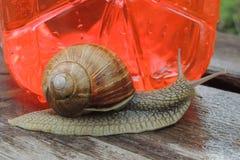 Grand escargot dans le jardin sur un plan rapproché rouge de fond Photos libres de droits