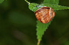 Grand escargot de jardin, pomatia d'helice Photos libres de droits