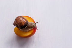 Grand escargot mangeant la nectarine sur un fond blanc Images stock