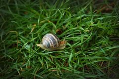 Grand escargot rayé sur le macro tir d'herbe verte photographie stock libre de droits