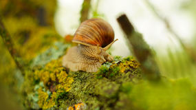 Grand escargot sur l'arbre Photo libre de droits