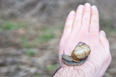 Grand escargot sur une main d'homme Image libre de droits