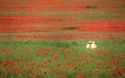 Grand et dense champ de pavot avec de petits enfants Images libres de droits