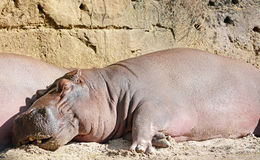 Grand et drôle hippopotame Photo stock