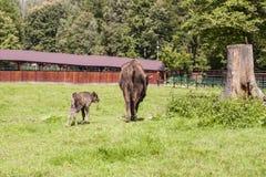 Grand et petit bison, parc national d'e Bialowieza Image libre de droits