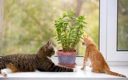 Grand et petit chat sur la fenêtre Photo stock