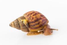 Grand et petit escargot Photos libres de droits