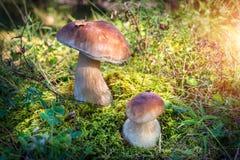 Grand et petit fung de champignon Images stock