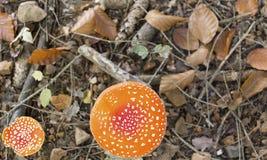Grand et petit muscaria d'amanite de champignon en vert au sol a de forêt Photos stock