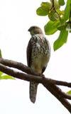 Grand faucon-coucou Photos libres de droits