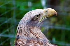Grand faucon-faucon sauvage dans la cage Image stock