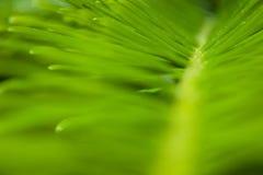 Grand Fir. (Abies grandis) needles closeup Royalty Free Stock Photo