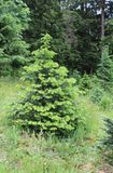 Grand Fir Balsam Fir. A young Grand Fir tree sports soft pale green needles that contrast with its usual dark green color. Balsam, as the tree is otherwise Stock Images