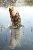 grand fleuve de poisson-chat Photo stock