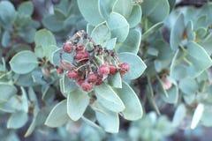 Grand fruit de manzanita de baie Photos stock