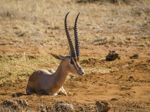 Grand Gazelle Royalty-vrije Stock Afbeeldingen