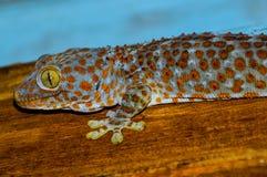 Grand gecko de sourire image libre de droits