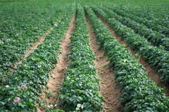 Grand gisement de pomme de terre avec des usines dans des rangées droites gentilles Photos libres de droits