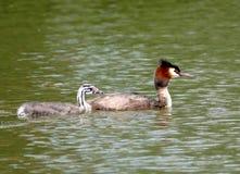 Grand grèbe crêté avec le jeune dans un lac photos stock