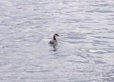 grand grèbe crêté dans le plumage d'hiver photo libre de droits