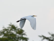 Grand grand vol blanc d'oiseau de héron Photos stock