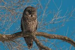 Grand Gray Owl Images libres de droits