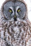 Grand Gray Owl Eyes Portrait Close Up Photo stock