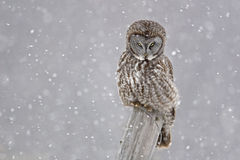 Grand Gray Owl, nebulosa de Strix, regardant fixement Images stock