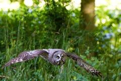 Grand Gray Owl ou grand nebulosa de Grey Owl Strix Photo stock