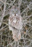 Grand Gray Owl Perched en portrait d'arbre Photographie stock libre de droits