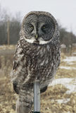 Grand Gray Owl Perching On Pole Photographie stock