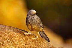 Grand Grey Babbler, malcolmi de Turdoides, Hampi, Karnataka images libres de droits