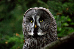 Grand Grey Owl photo libre de droits